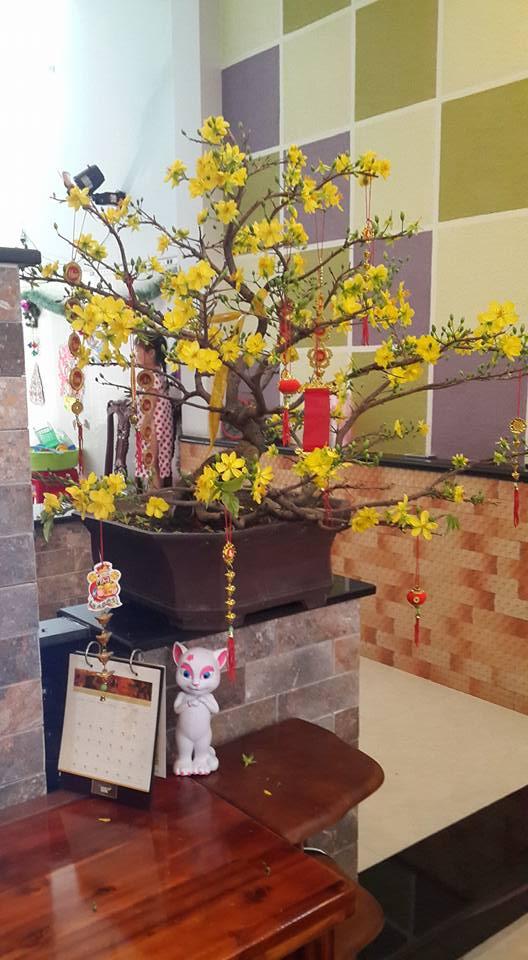 644 - Mai Bonsai mùng 1 Tết