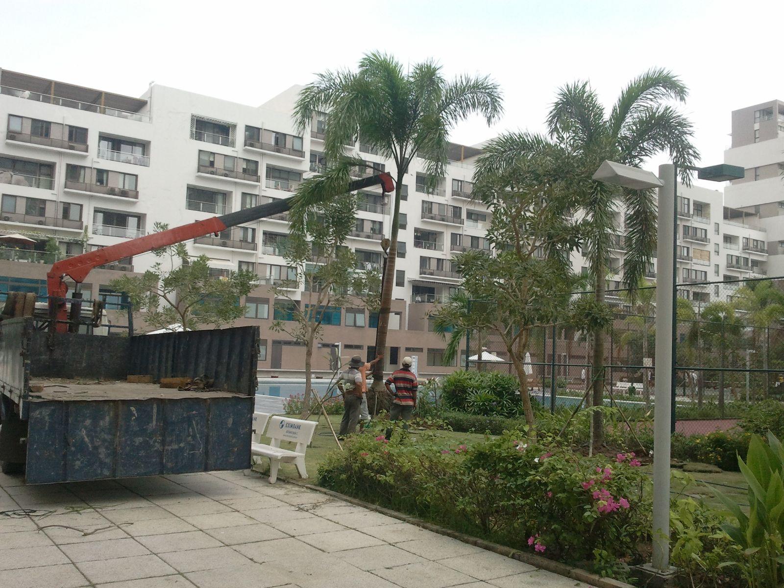 Thi công trồng cau tòa nhà Paranoma - Phú Mỹ Hưng