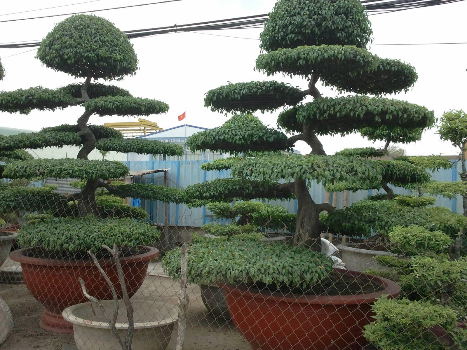Vườn ươm Cây Bonsai