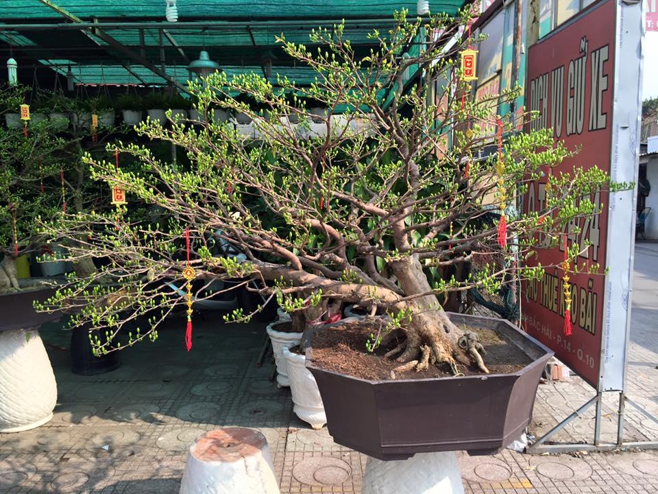 623 - Mai Bonsai 25 Tết