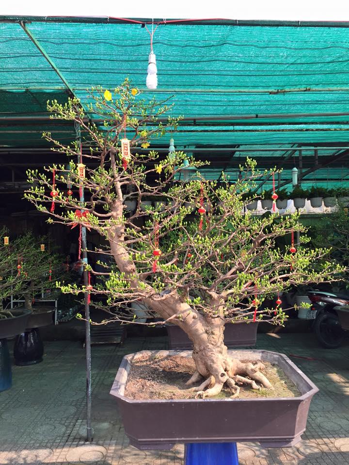 626 - Mai Bonsai 25 Tết