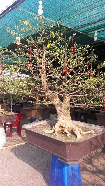 635 - Mai Bonsai 26 Tết