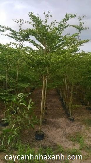 Vườn ươm Bàng Đài Loan