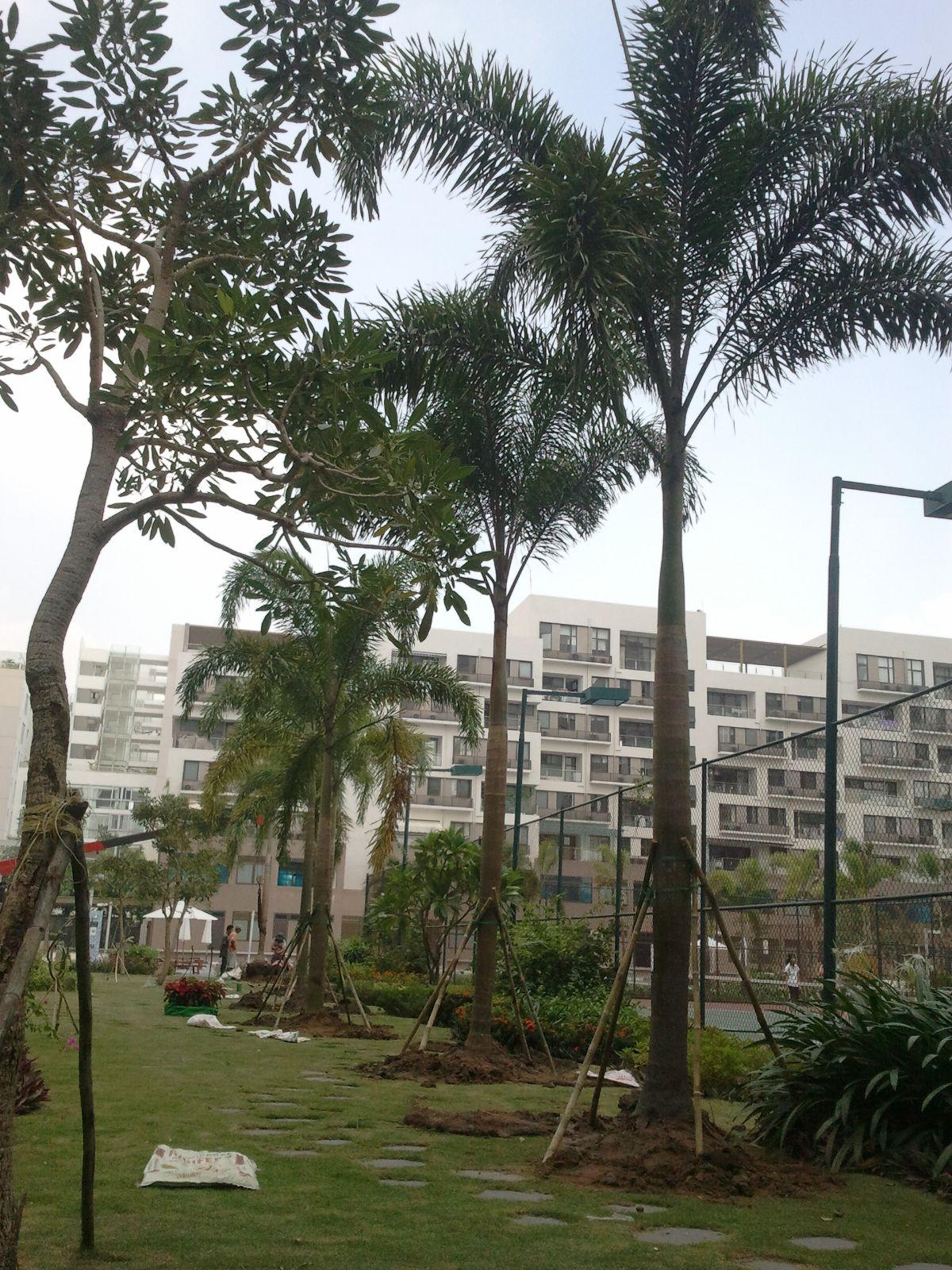Thi công trồng cau tòa nhà Panorama