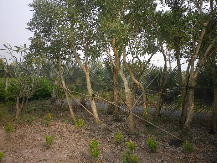 328 - cây chuông vàng