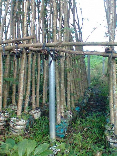 Vườn ươm cây Lim xẹc