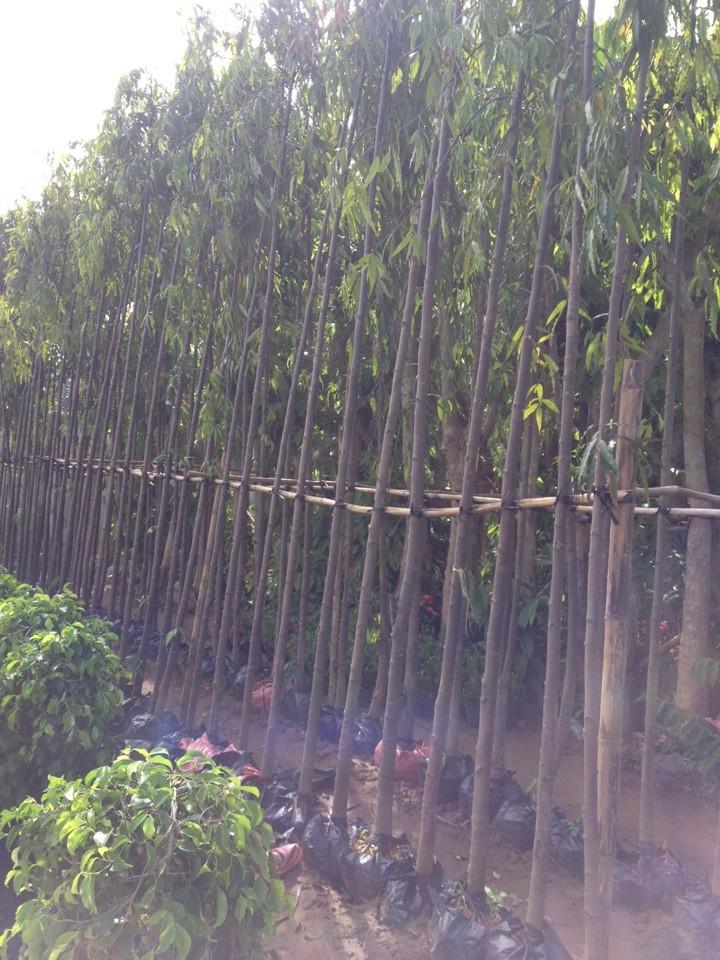 334 - Vườn ươm Hoàng nam
