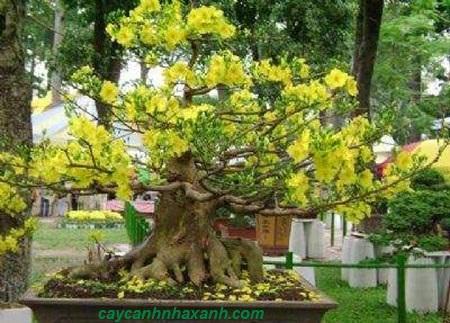 642 - Mai vàng Bonsai mùng 1 Tết