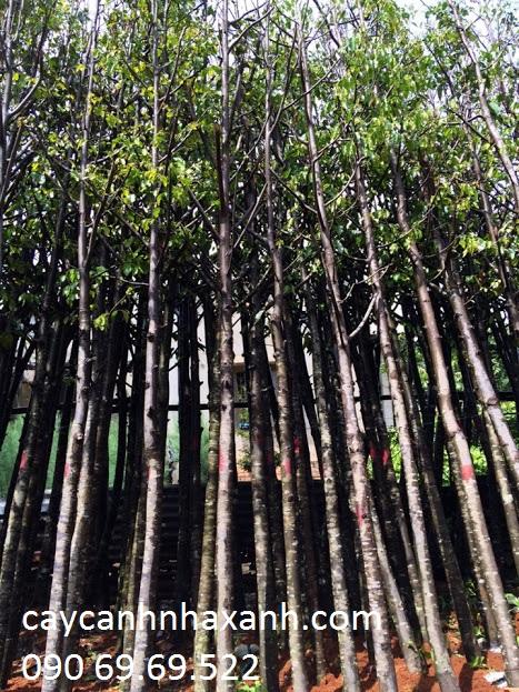 Vườn ươm cây Sao đen
