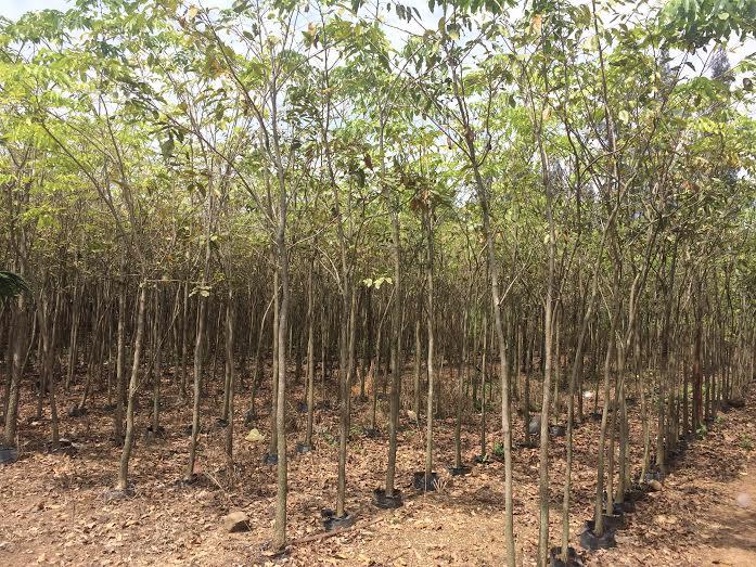 343 - Vườn ươm cây Dáng hương