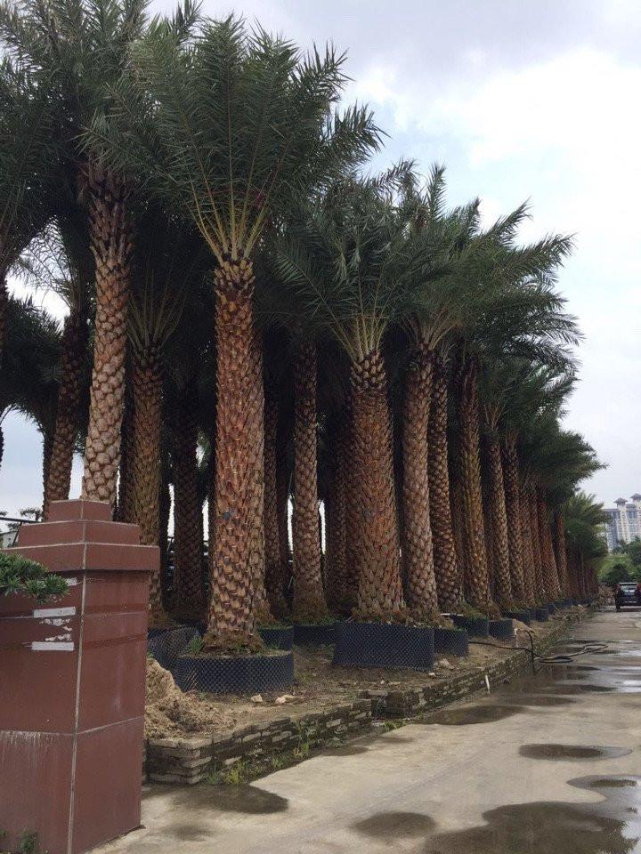 Kết quả hình ảnh cho cây chà là công trình
