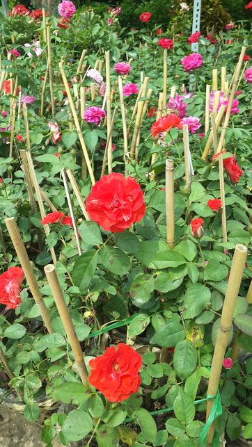 2B 40 - Hoa hồng nhung