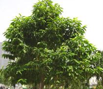 318 - Cây Ngọc lan