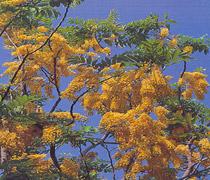 312  - Osaka vàng