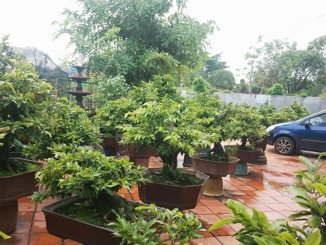 Vườn Mai Bonsai