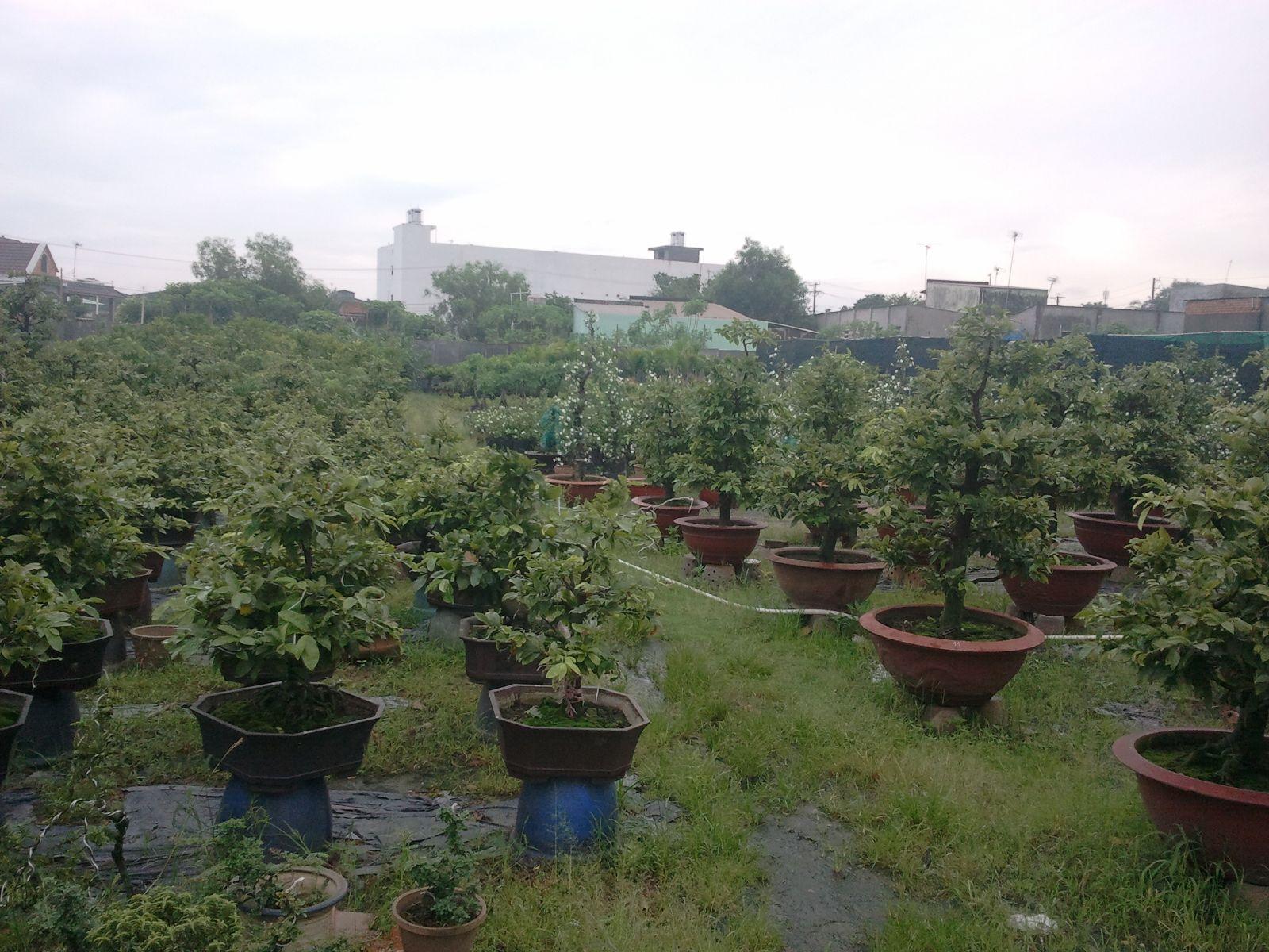 Vườn ươm Mai  Cây cảnh Nhà xanh