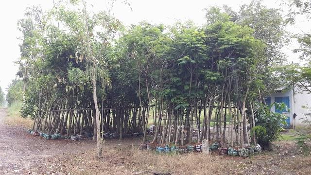 345 - Vườn ươm cây Lim xẹc