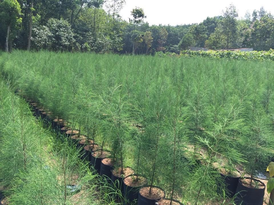 Vườn ươm cây Phi lao