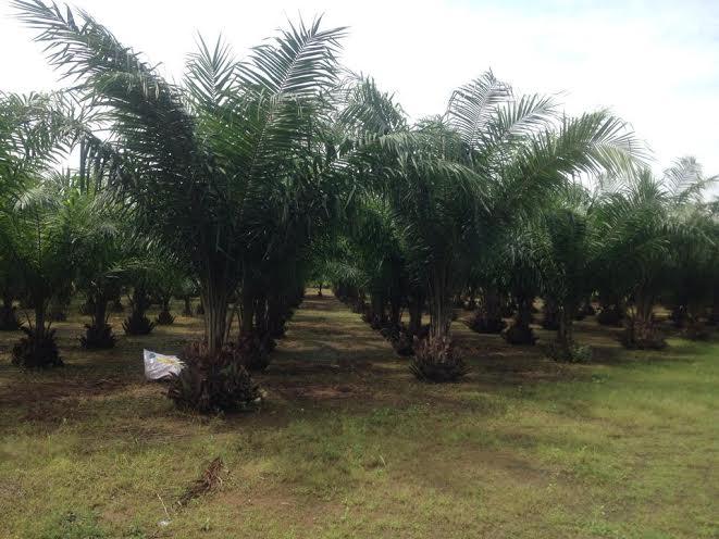 Vườn ươm Cọ dầu